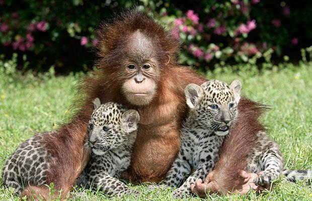 Two five-week-old leopard cubs named Chant and Sloka sit with a one-year-old orangutan named Rishi, at T.I.G.E.R.S. (The Institue For Endangered Species) in Myrtle Beach, South Carolina