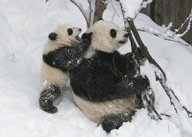 Tai Shan, the 7-month-old giant panda cub, romps in the snow with his mother, Mei Xiang, on Sunday, Feb. 12, 2006. Tai Shan was born July 9, 2005 at 3:41 a.m. He is the first surviving giant panda cub born at the Smithsonian National Zoo. D.C. Mayor Adrian Fenty once called Tai Shan Washington's most important citizen. He was originally supposed to be sent to China when he turned 2, but under an agreement with the Chinese government, the zoo kept him for an additional two years.