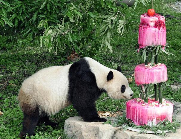 July 9, 2009: Giant panda Tai Shan goes after his cake, made of water, bamboo, shredded beets, and beet juice, during his birthday celebration at the Smithsonian's National Zoo in Washington, D.C. Tai Shan was born July 9, 2005 at 3:41 a.m. He is the first surviving giant panda cub born at the Smithsonian National Zoo. D.C. Mayor Adrian Fenty once called Tai Shan Washington's most important citizen. He was originally supposed to be sent to China when he turned 2, but under an agreement with the Chinese government, the zoo kept him for an additional two years.