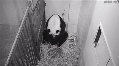 """22岁旅美大熊猫美香产下宝宝 粉丝围观""""挤崩""""直播间"""