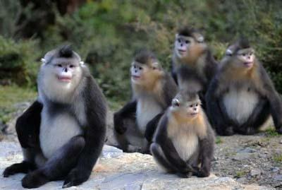 Black snub-nosed monkeys are pictured in the Baima Snow Mountain State Nature Reserve in Weixi, southwest China's Yunnan Province, Oct. 22, 2009.  (Xinhua/Lin Yiguang)
