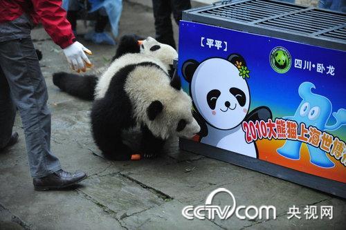 10名来自四川地震灾区的孩子分别在每个熊猫笼外的画板上画画并留下