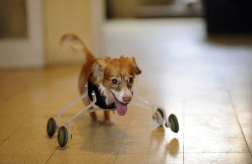 Hoppa, a four-year-old mixed breed dog born without front legs, uses a prosthetic device to walk in his home in the central Israeli city of Tel Aviv February 28, 2010. The device was invented especially for Hoppa by a animal-loving art student, who hopes his wheeling device will improve the lives of pets born with abnormalities or with amputated limbs.(Xinhua/Reuters Photo)