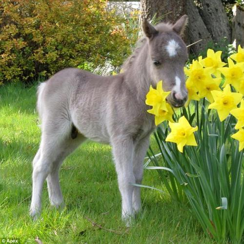 Spring arrival: Oberon sniffs some daffodils at Dartmoor's Original Miniature Pony Centre in Devon