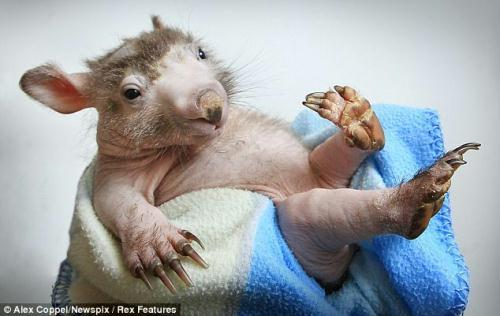 Stressed out: The baby wombat may have lost its fur after being abandonned by its mother