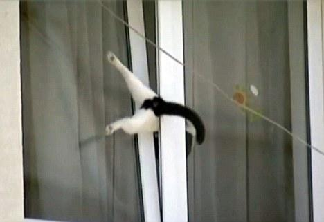 Stuck: The cat is trapped in the half-open window with its hind legs sticking out
