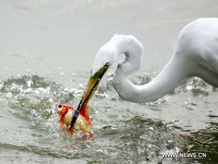 An egret catches fish at the Olympic park in Beijing, capital of China, June 28, 2010. [Xinhua photo]