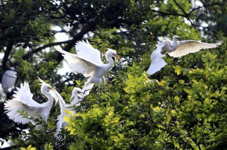 Little egrets are seen in the wood at the Wan'an Town of Xiuning County, east China's Anhui Province, July 1, 2010. (Xinhua/Hu Hongkun)