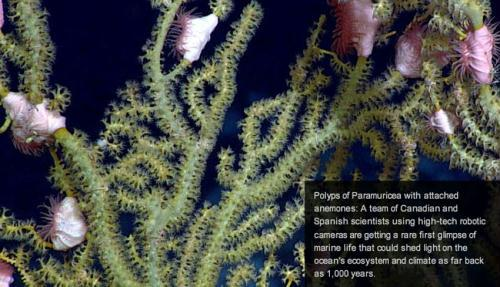 Polyps of Paramuricea with attached anemones. Using high-tech robotic cameras, a team of scientists is getting a rare first glimpse of marine life in the North Atlantic that could shed light on the ocean's ecosystem and climate to as far back as 1,000 years. The team, from three Canadian universities and the Spanish Institute of Oceanography, is in the midst of a 20-day expedition to study 11 areas under the protection of the North Atlantic Fisheries Organization.