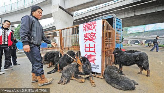 Chinese Chongqing Dog For Sale Uk