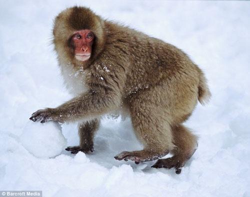 Monkey Making Snowball of Monkeys Making Snowball