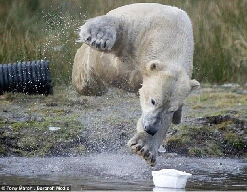 北极熊扑入池塘,向安全帽游去