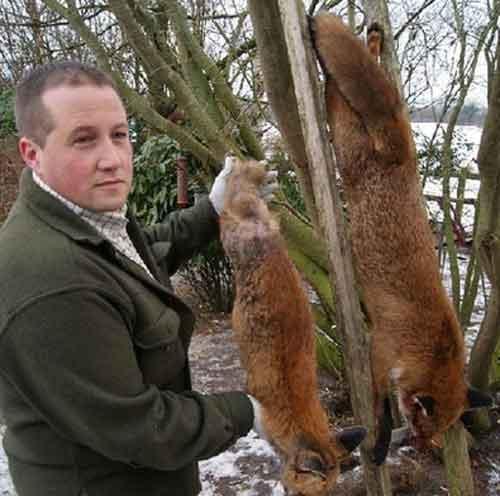 左边是正常体积的狐狸,右边是一只重达26磅(约为11.79公斤)的狐狸。