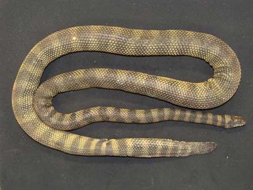 """新发现的怪异海蛇""""唐纳德海蛇""""。"""
