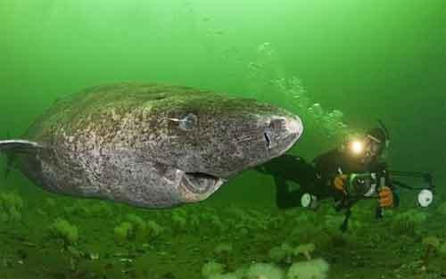 摄影师在格陵兰岛附近发现巨型深海鲨鱼