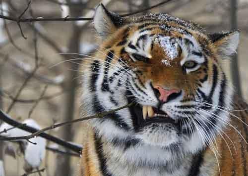 """这只老虎正在假借树枝""""刷牙"""",清理牙缝中的碎肉。"""
