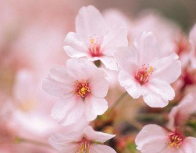 Les fleurs de cerisier magnifiques au parc Yuyuantan