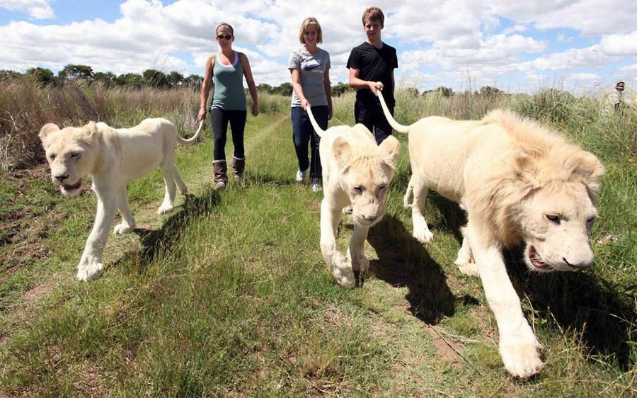 非洲好友辛巴 牵着狮子的尾巴一起散步
