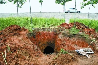 特大白蚁巢穴直径达1米,像不像地道?