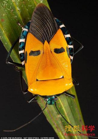 """摄影师在泰国树林中发现一只蝽虫后背长着""""摇滚明星脸"""""""
