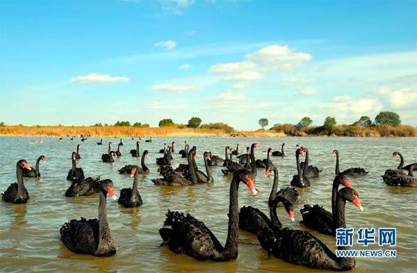 在东营市黄河入海口湿地保护区,天鹅闲适游弋(10月31日摄)。新华社记者郭绪雷摄