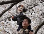 إزهار الكرز في طوكيو