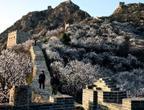 أزهار جميلة متفتحة على طول سور الصين العظيم