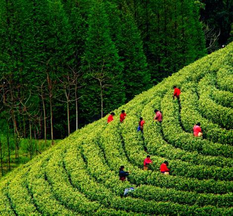 安吉白茶产业的发展现状