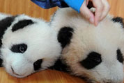 New Breakthrough in Giant Panda Artificial Breeding