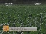 [农广天地]中甘21号甘蓝栽培技术(20140324)