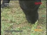 黑龙江:身价不菲的龙江黑牛