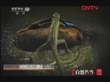 《自然传奇》 20120127 动物生存大揭秘(六)