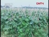 《农广天地》 20120328 支架栽培黑皮冬瓜