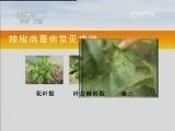 辣椒常见病害防治