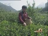 湖南谢流华:古丈探茶 印象毛尖