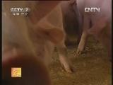 滇撒猪配套系的养殖技术