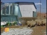 外国优良肉羊品种介绍_致富经