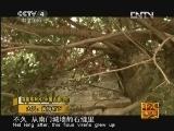 《走遍中国》20121020中国古镇(60)大昌:黄桷树下