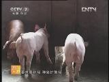 养猪农广天地:全程监测养好种公猪