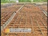 农广天地,大棚马兰种植技术