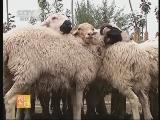羊毛制作工艺农广天地,新疆地毯