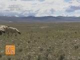 如何养羊农广天地,西藏岗巴羊养殖技术