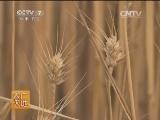 [农广天地]如何提高冬小麦分蘖成穗率(20140127)