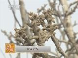 [农广天地] 如何提高核桃坐果率(20140310)