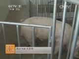 养猪农广天地,如何挑选种公猪