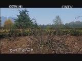 [牡丹]第三集 天下真花独牡丹 存活半个世纪的牡丹树创造着生命的奇迹