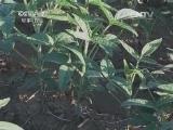 [农广天地]大豆窄垄双行栽培技术(20140421)