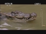 [幸存者 自然界坚不可摧的生物]浴火重生 古老的幸存者——鳄鱼