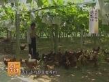 [农广天地]葡萄园立体种养模式(20140507)