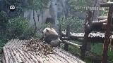 Мяо Мяо и Чэндуй играли в игру